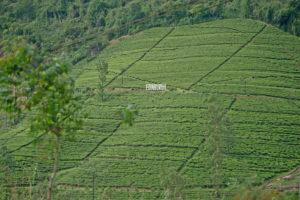 Чайные плантации Шри Ланки